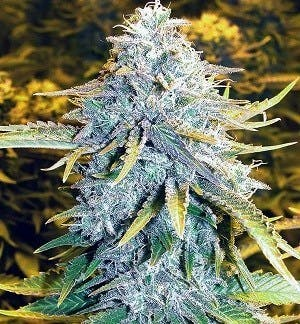 marijuana-dispensaries-265-se-scott-st-bend-alaskan-thunder-funk-atf-by-the-cannabis-farm-thc-22-09-25-cbd-04-25