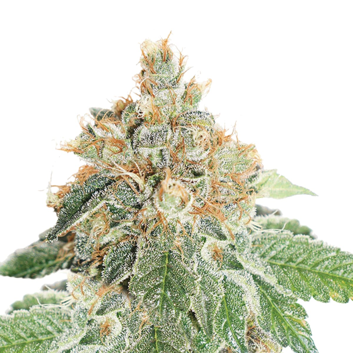 seed-dutch-passion-seed-company-auto-colorado-cookies