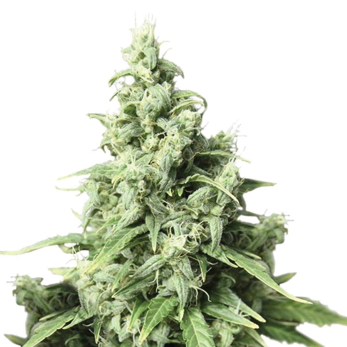 seed-dutch-passion-seed-company-auto-durban-poison