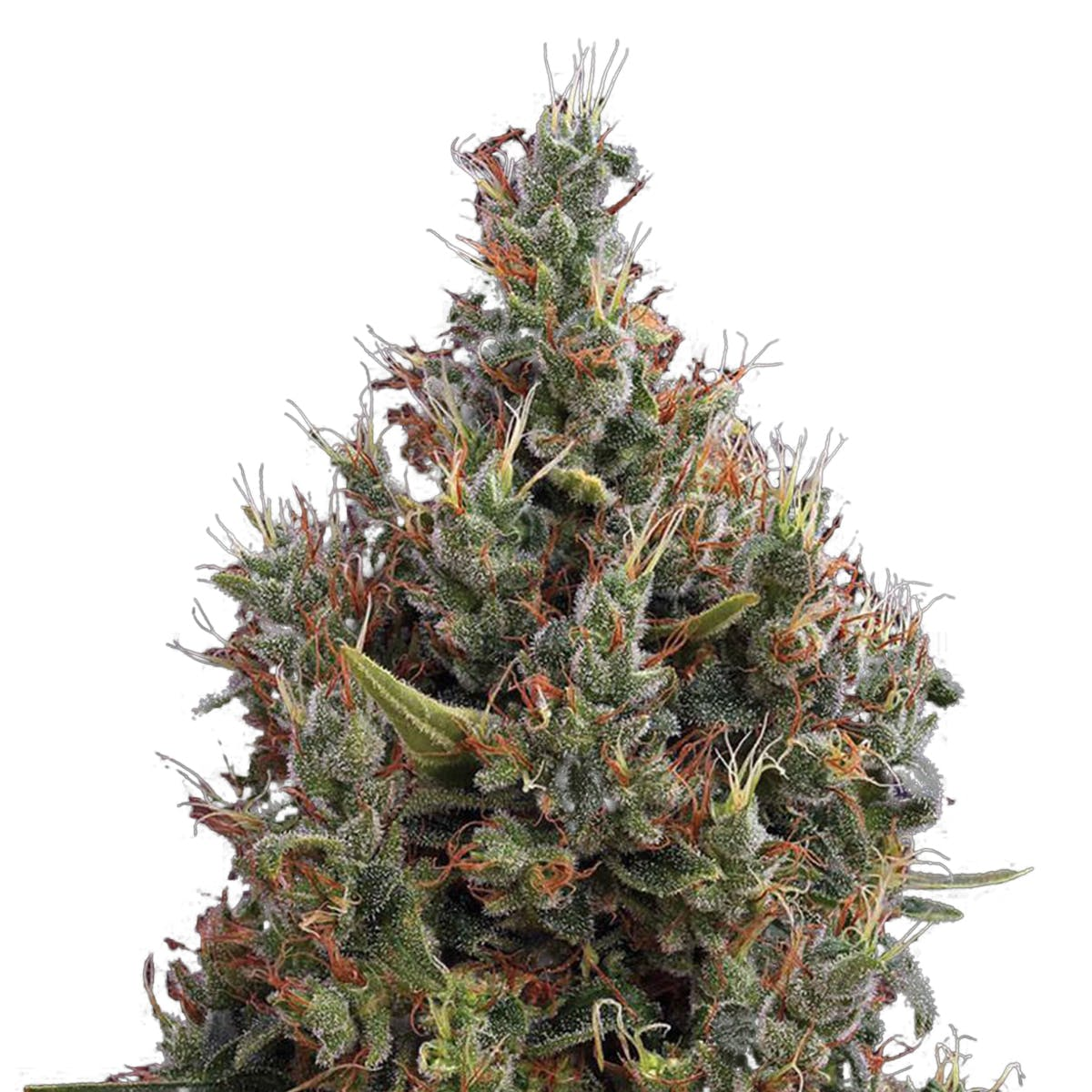seed-green-house-seed-co-big-bang-autoflowering